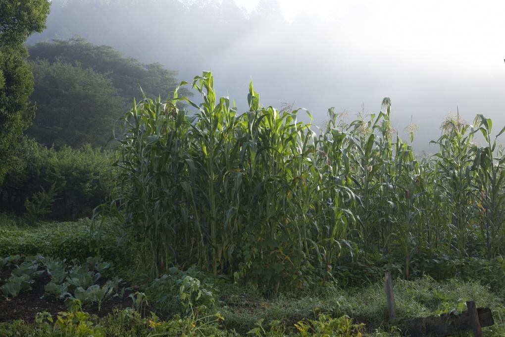 Zapatista cornfields in Chiapas, Mexico