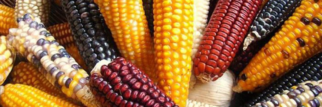 Colors of Zapatista corn