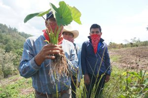 Zapatista students and education promoters examine the first malanga root harvested from their growing food forest.