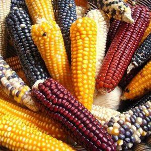 Zapatista GMO-free corn in Chiapas, Mexico